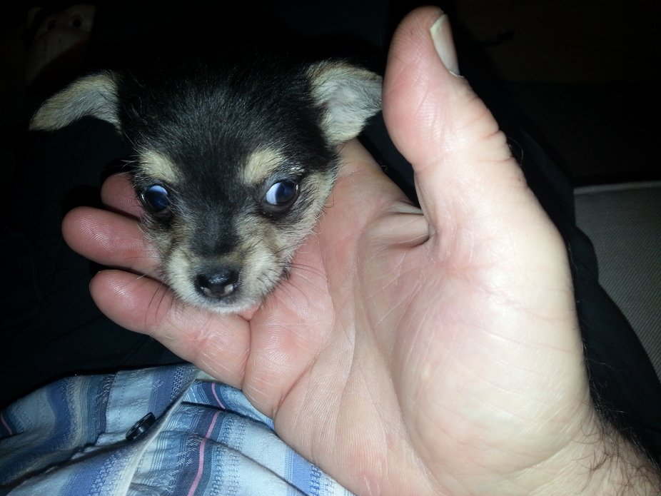 Heres almost a handful of our Peps again...she's not so sheepish now.
