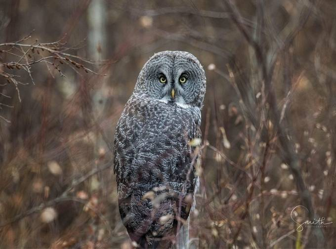 Great Gray Owl by ryansmith_4978 - Beautiful Owls Photo Contest