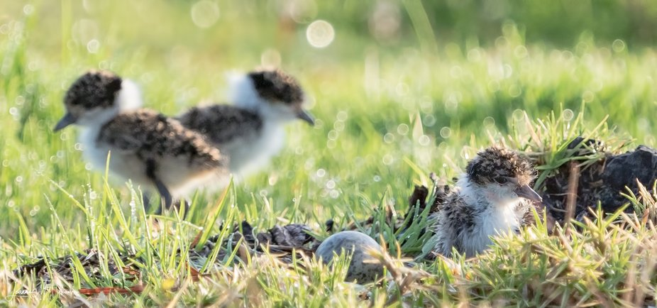 We have had a couple of Masked Lapwing Plovers nest right near out letterbox. For 4 weeks they wo...