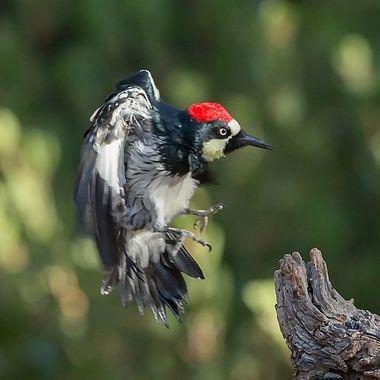 Acorn Woodpecker-6766