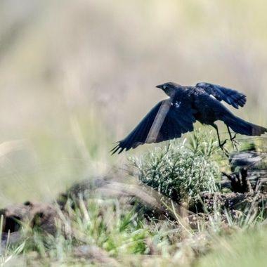 0P6A2999 Blackbird