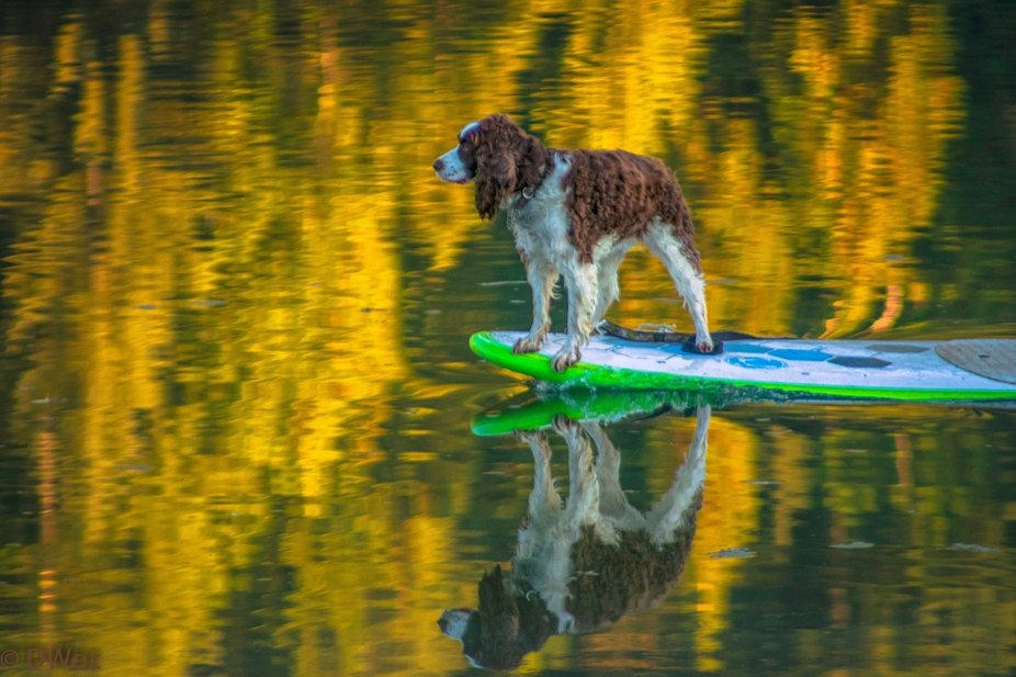 I went to the lake near our house to photograph the Fall reflections and behold.. a spaniel on a ...