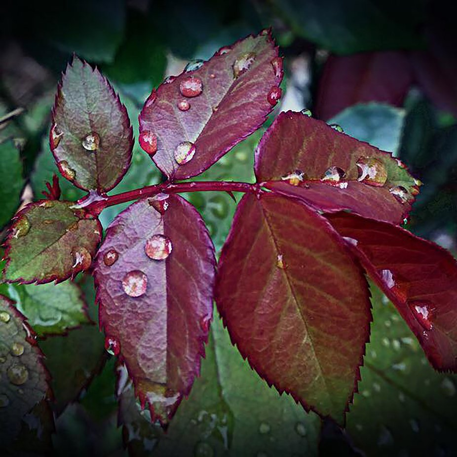 Rose-Oct-14-00005