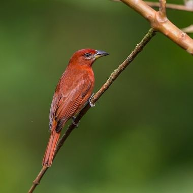 Hepatic Tanager-9794