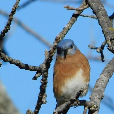 Framed Eastern Bluebird
