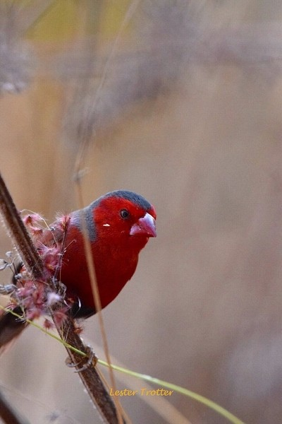 Crimson Finch,Townsville,Town,Common,Queensland,Australia