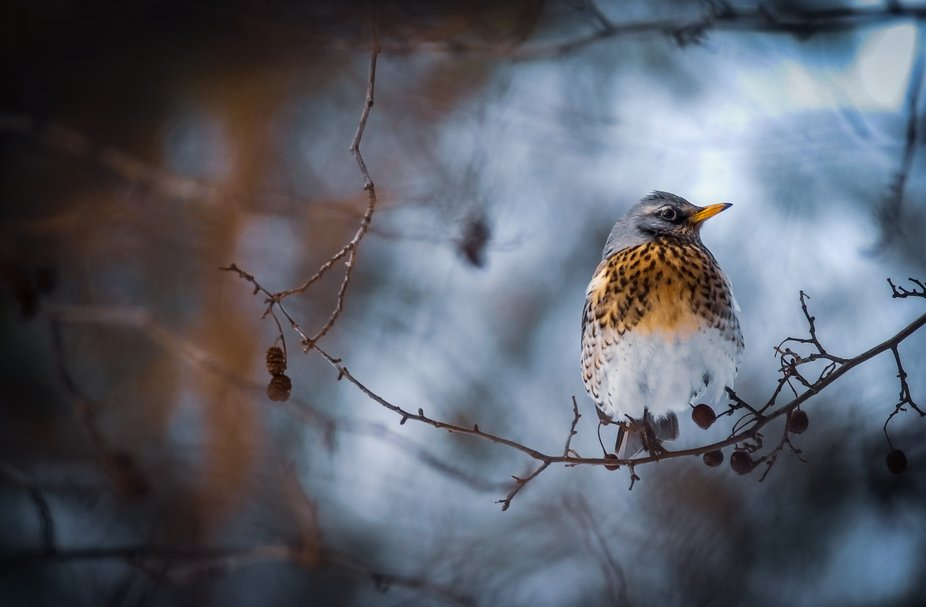 A Fieldfare spotted in Poland during winter.  Nikon D1H, AF Sigma 400mm F5.6 APO