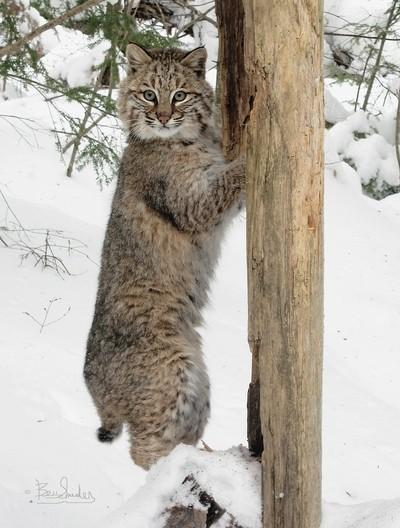 Wild Bobcat 0918