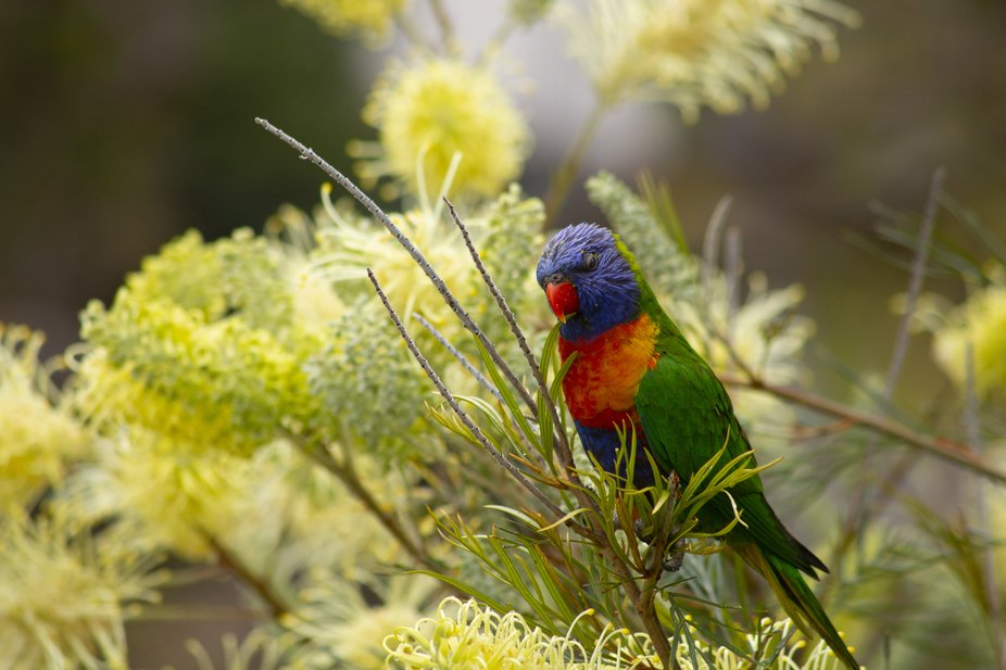 Yet another conspicuous bird found in NSW, these loud yet beautiful little parrots love to feast ...