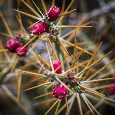 A thorny desert plant near Terlingua, in the Big Bend area of south west Texas