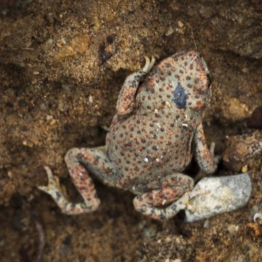 A colorful spotted toad near Terlingua, in the Big Bend area of southwest Texas.