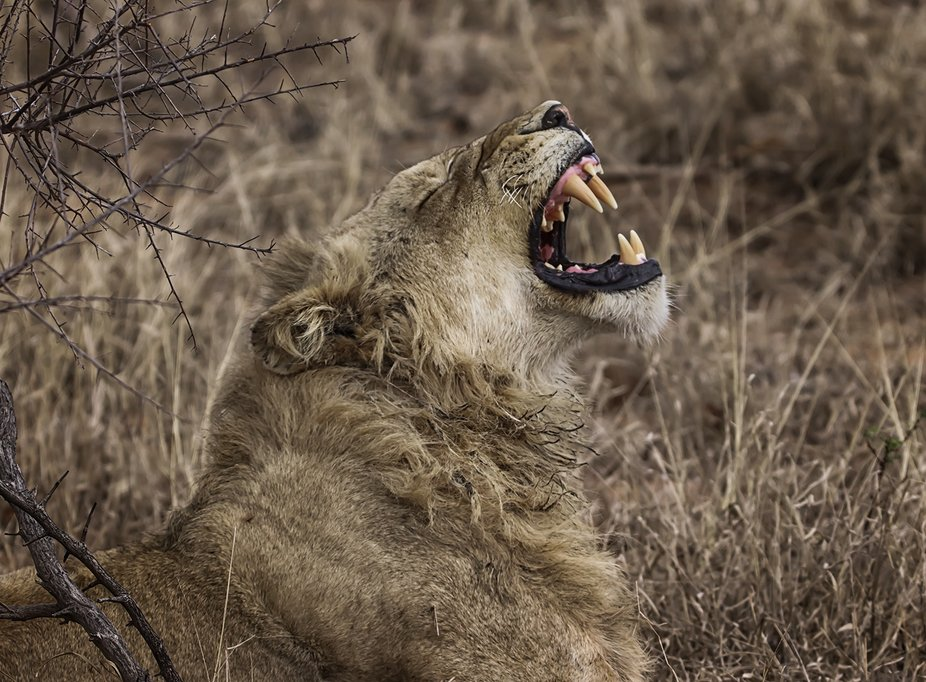 This young male, is one of eight lions that was just lying around in the Kruger National Park on ...
