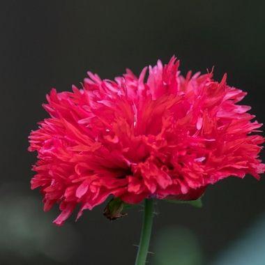 poppy-3088