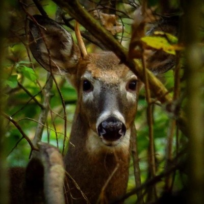 Young spike horn Whitetail Deer. He just finished jousting with a sapling in front of his girlfriend.  #trailsend #spikehorn #whitetail #deer #wildlife #wildlifephotography #outthebackdoor #backyardnature #canon_photos #canonphotography #naturyst #natural
