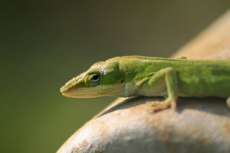 Green Anole in the evening sun.