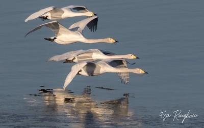 One_Tundra_Swan