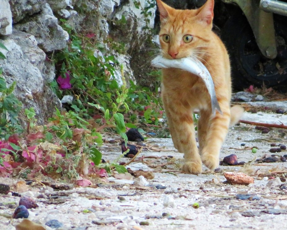A Ginger Tom Cat in Greece excited to get stuck in to his dinner.