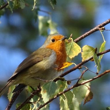 Out on a walk on a sky blue day up in the highlands caught sight of this lovely friendly Robin... my favourite bird !