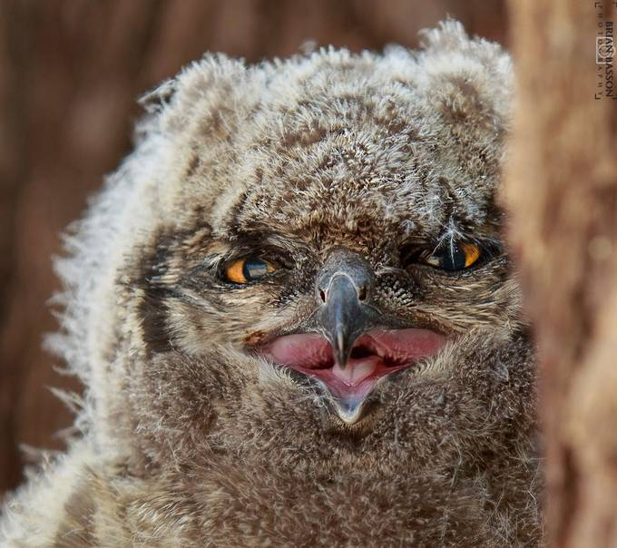 Spotted eagle owl chick © Brian Basson Photography. by BrianBasson - Beautiful Owls Photo Contest
