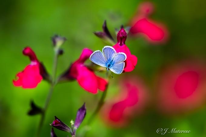Blue Butterfly At Tohono Chul
