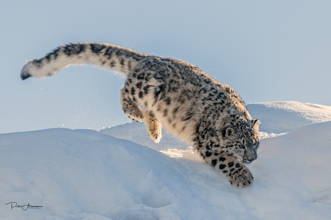 by peterallinson - Winter Wildlife Photo Contest