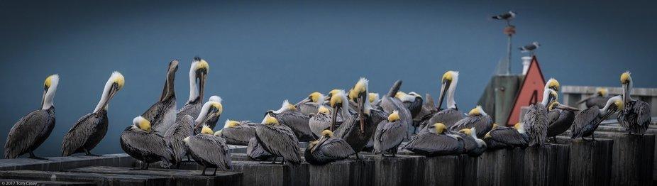 Pelicans at Rest