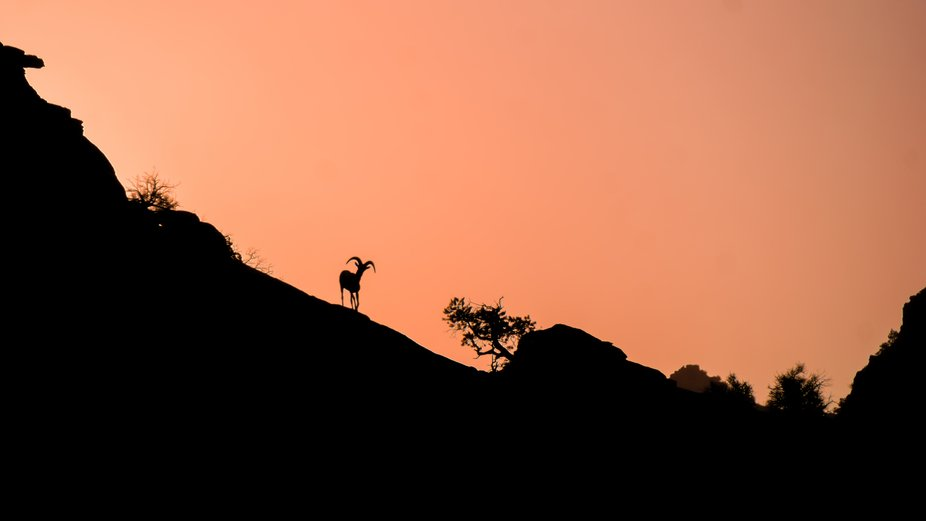 Watching the sunrise with the Desert Big Horn Sheep