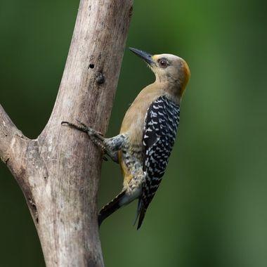 Hoffman's Woodpecker - 7547
