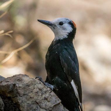 White-Headed Woodpecker - 2636