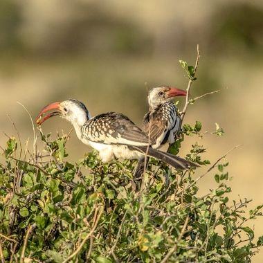 """Bananna Beak"" Birds"