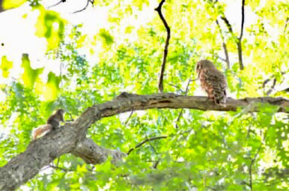 We were watching the owl in our back yard when this squirrel starts toward the owl. The owl turne...