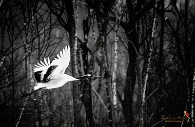 The Majestic Red Crowned Crane