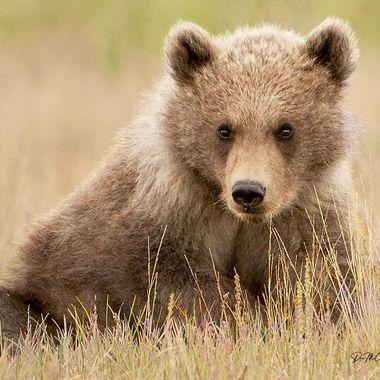 Alaska Brown Bear Cub in Grass, Hallo Bay, AK