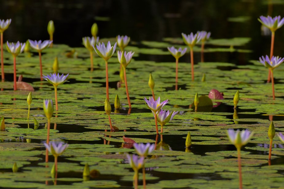 Lily Pad Flowers on Pond
