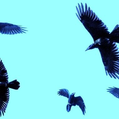 Five pictures of a raven in flight