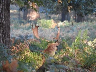 Deer hiding in the bracken