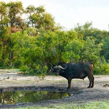Cape buffalo gaze