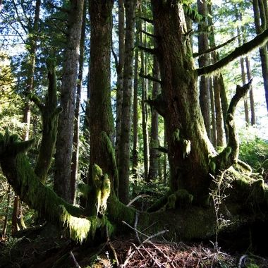 trees, forest, moss, national forests are, Pacific Northwest,