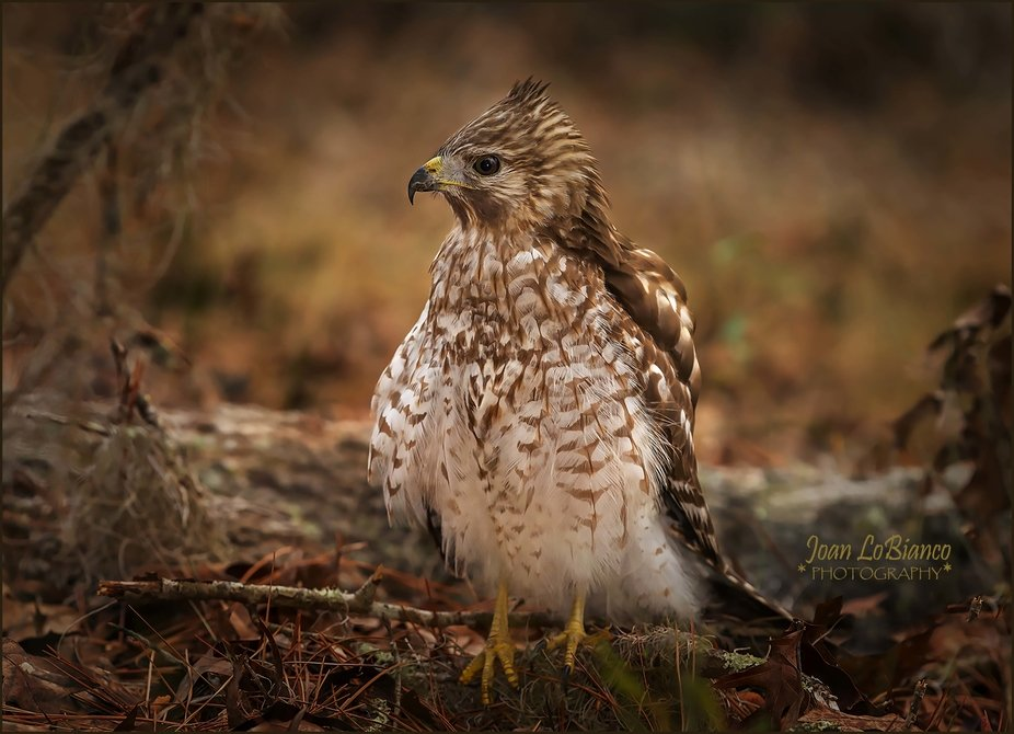 I came upon this little hawk because he was squawking incessively in the woods near my home in We...