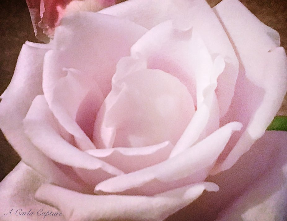 This beautiful purple rose has the most intoxicating and sensual of smells! I would love for you ...
