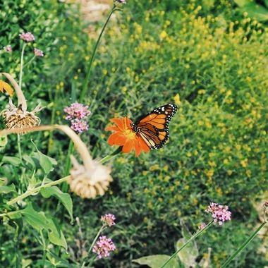 a butterfly lands on a flower