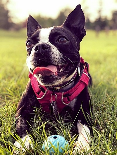 An afternoon of play with my boston terrier piper