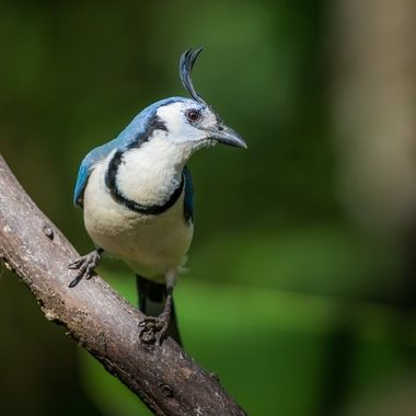 White-Throated Magpie-Jay - 7695