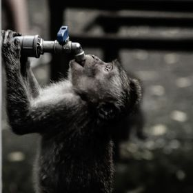 THIRSTY MONKEY