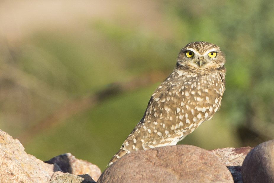 "This Burrowing Owl has been re-located along the Salt River in an area called ""Downtown ..."