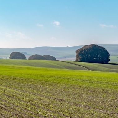 New crop growing near Avebury.