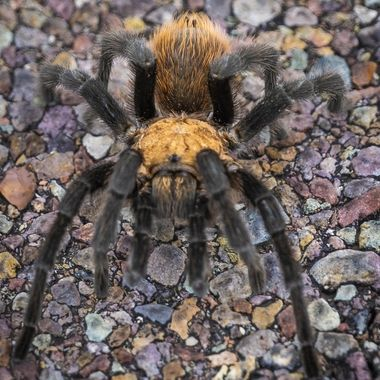 A colorful tarantula crossing the road leading to Big Bend National Park