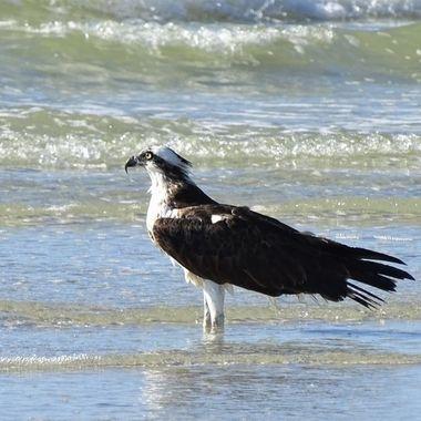Osprey Wading