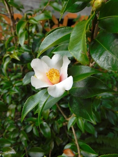My First Camelia