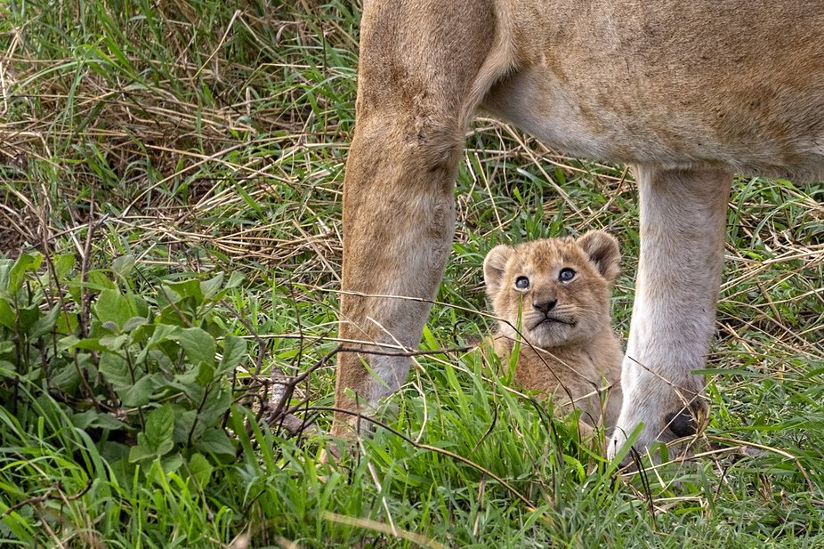 I took this photograph in the Tarangira National Park in Tanzania.   This baby lion is about 4 we...